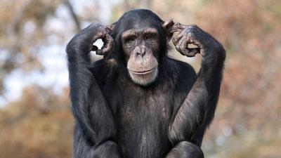 בן אדם בעקבות קוף