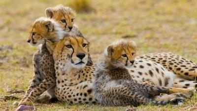 החתולים הגדולים של אפריקה
